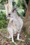 A kangaroo by a gumtree at Australia Zoo. A kangaroo takes a seat near a gumtree at Australia Zoo Stock Images