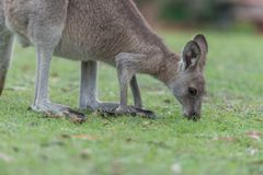 Lunch time. Kangaroo having a lunch in the meadow stock photography