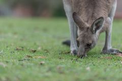 Lunch time. Kangaroo having a lunch in the meadow stock images