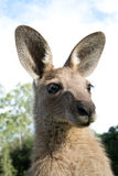 Kangaroo head Royalty Free Stock Photo