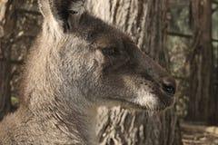 Kangaroo head Stock Images