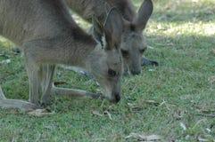 Kangaroo Heads Royalty Free Stock Photos