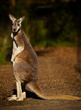 Kangaroo. At Healesville Wildlife Sanctuary, Australia Royalty Free Stock Photos
