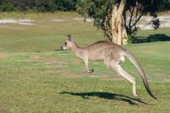 Kangaroo Hopping Stock Images