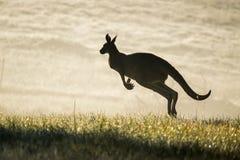 Kangaroo hopping in field Stock Photography