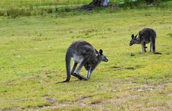 Kangaroo hopping with joey in pouch. An eastern grey kangaroo with a joey in its pouch is hopping. Nearby there is another kangaroo. Kangaroos are natives of Royalty Free Stock Images