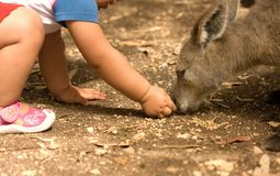 Kangaroo and human child relationship Royalty Free Stock Photo