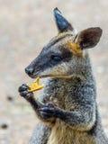 Kangaroo  - Icon of Australia. Royalty Free Stock Photo