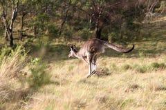 Kangaroo. Image with vegetation  and kangaroo Royalty Free Stock Image
