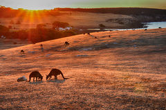 Kangaroo under sunset Royalty Free Stock Photography