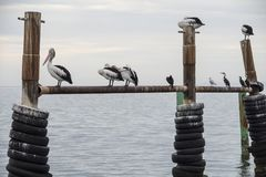 Australian Pelicans perching at the water`s edge on Kangaroo Island royalty free stock photo