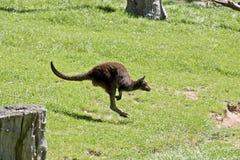 Kangaroo-Island  kangaroo Stock Images