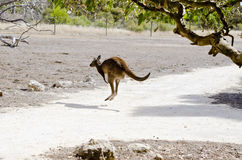 Kangaroo-Island kangaroo Royalty Free Stock Image
