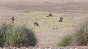 Kangaroo Island Kangaroos eating stock video footage