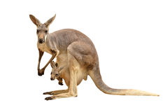 Kangaroo isolated Royalty Free Stock Photos