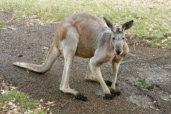 Kangaroo on its feet. An adult kangaroo looking at the camera which is standing on its feet. Photo taken in Australia, in a zoo containing lots of animals Stock Photo