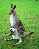 Kangaroo. A kangaroo in its natural habitat in southeast Australia along Great Ocean Road Stock Image