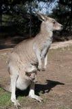Kangaroo and Joey Royalty Free Stock Photo