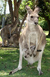 Kangaroo with joey. Hiding in mother\'s pouch Stock Photo