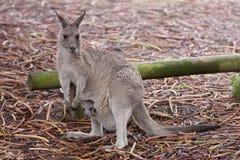 Kangaroo with joey Royalty Free Stock Photo