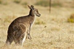 Kangaroo with Joey Stock Photo