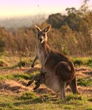 Kangaroo with joey. Mother kangaroo, with joey in pouch, standing and watching alertly Stock Image