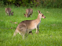 Kangaroo with joey. Close-up of female kangaroo with joey in her pouch grazing in a field of grass in a group with other kangaroos in the background stock photography