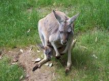 Kangaroo with joey. Kangaroo and joey stock images