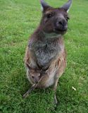 Kangaroo with joey. Kangaroo and joey, australia stock image