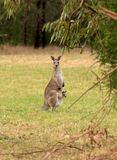 Kangaroo with joey ( baby kangaroo ) in pouch Royalty Free Stock Photography