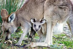 Kangaroo with Joey Baby in Pouch royalty free stock photo