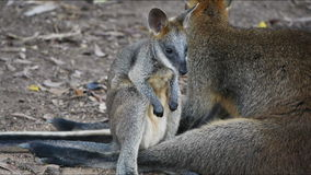 Kangaroo and joey Stock Photos