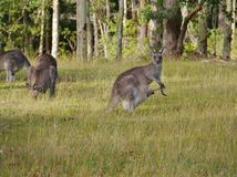 A kangaroo with a joey in her pouch. A kangaroo with a young in the pouch at Worrowing heights in Huskisson in New south Wales in Australia Royalty Free Stock Photo
