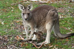 Kangaroo and Joey. Mother Kangaroo with baby (Joey) eating from pouch, photographed in the wild in Grampians National Park, Australia Stock Images