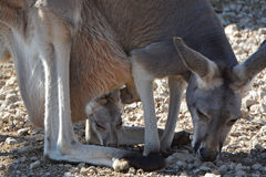 Kangaroo and Joey. Mother and her baby joey Royalty Free Stock Photo
