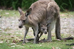 Kangaroo and joey. Mother kangaroo and her joey still in her pouch Royalty Free Stock Photography