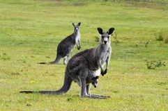 Kangaroo with joey in pouch. An eastern grey kangaroo stands tall with a joey in its pouch. Both the mother and joey face the viewer. In the background stands Royalty Free Stock Photos