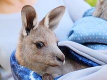 Kangaroo joey rescued. Young kangaroo joey rescued orphan Stock Photos