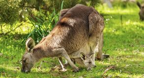 Kangaroo And Joey royalty free stock photography