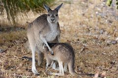 Kangaroo with joey standing in rain, West Australia Royalty Free Stock Photography