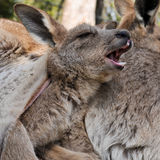 Kangaroo joey yawns while having a rest in her mother's pouch Stock Photos