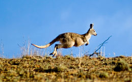 Kangaroo jump. A beautiful picture of a kangaroo hopping in the wild Royalty Free Stock Photography