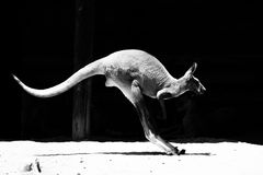 Kangaroo in the jump. Adult kangaroo lands on the strong legs after the jump Royalty Free Stock Photo