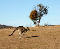 Kangaroo jumping Stock Photography