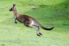 Kangaroo jumping away. Kangaroo at a lawn near South West Rocks, NSW Royalty Free Stock Photo