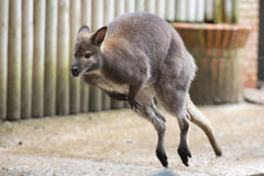 Kangaroo while jumping Royalty Free Stock Photo