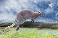 Kangaroo while jumping on the cloudy sky background Royalty Free Stock Image