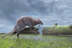 Kangaroo while jumping on the cloudy sky background Stock Photo
