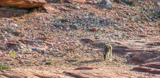 Kangaroo in Kalbarri stock image