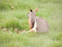 Kangaroo. On a field Stock Images